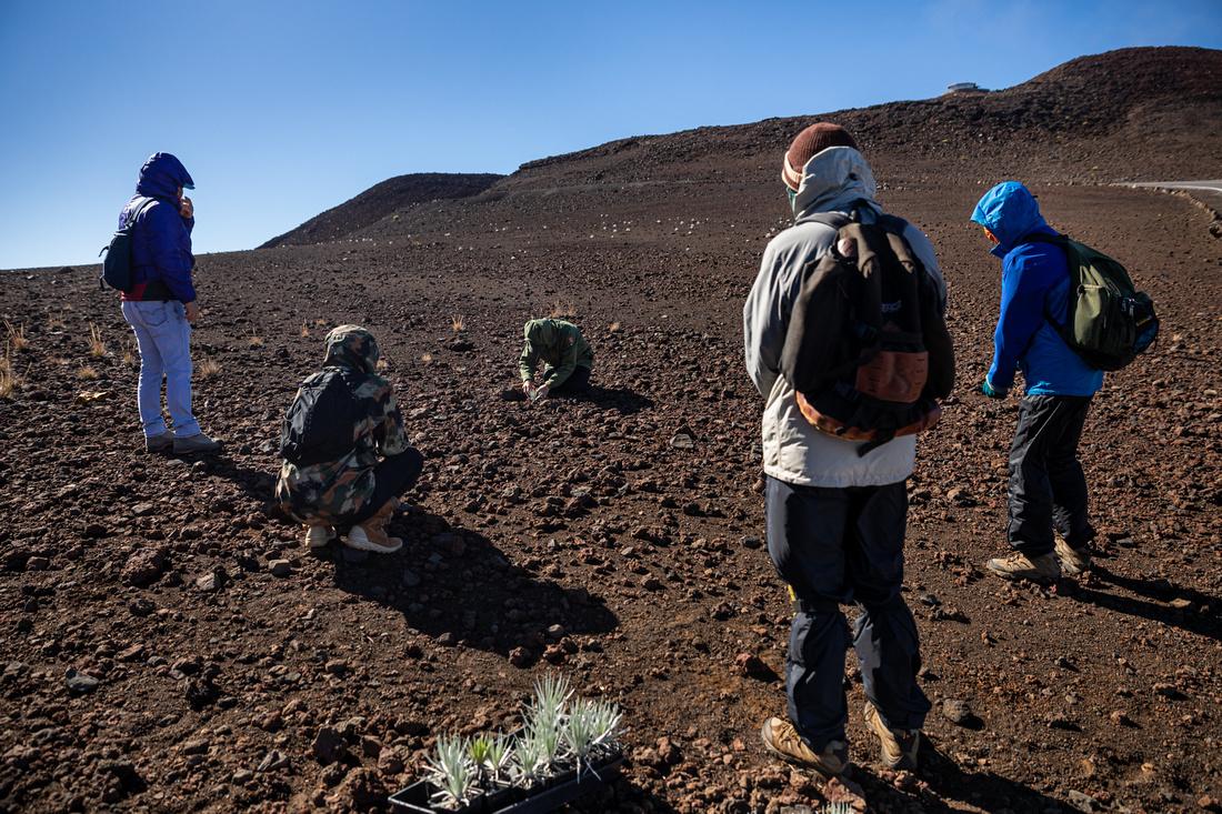 Silversword-Planting-Haleakala-Oct3020-025