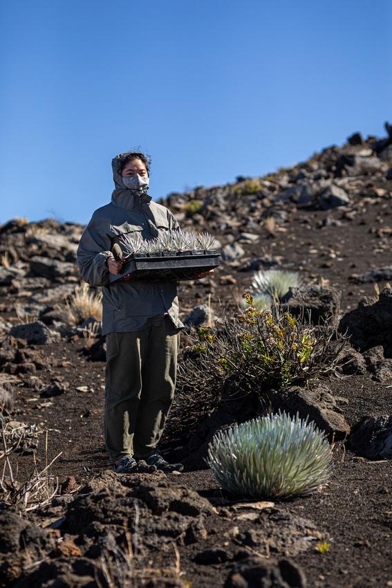 Silversword-Planting-Haleakala-Oct3020-036