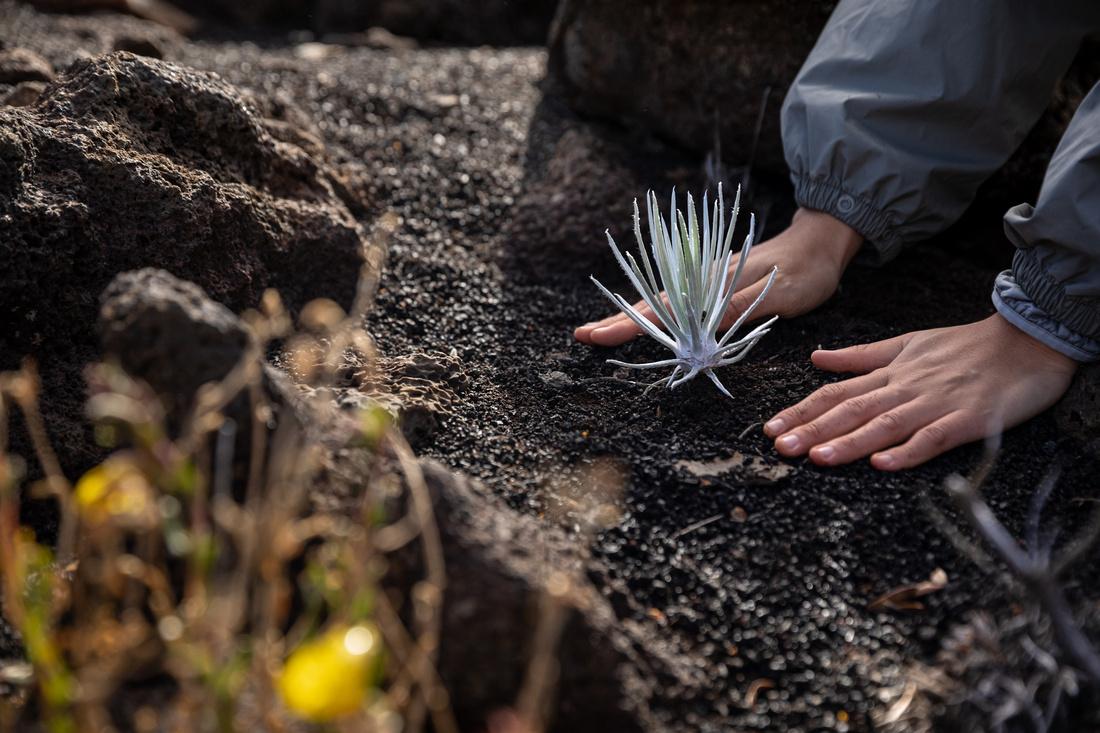 Silversword-Planting-Haleakala-Oct3020-042