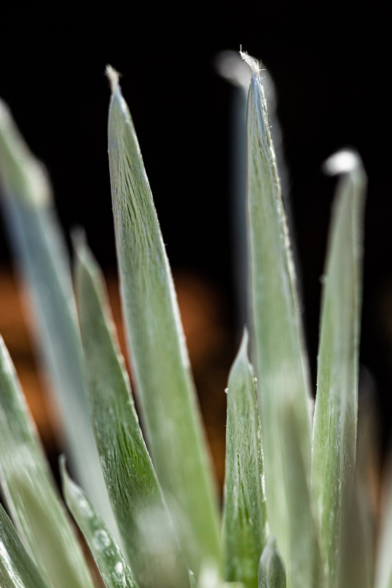 Silversword-Planting-Haleakala-Oct3020-058