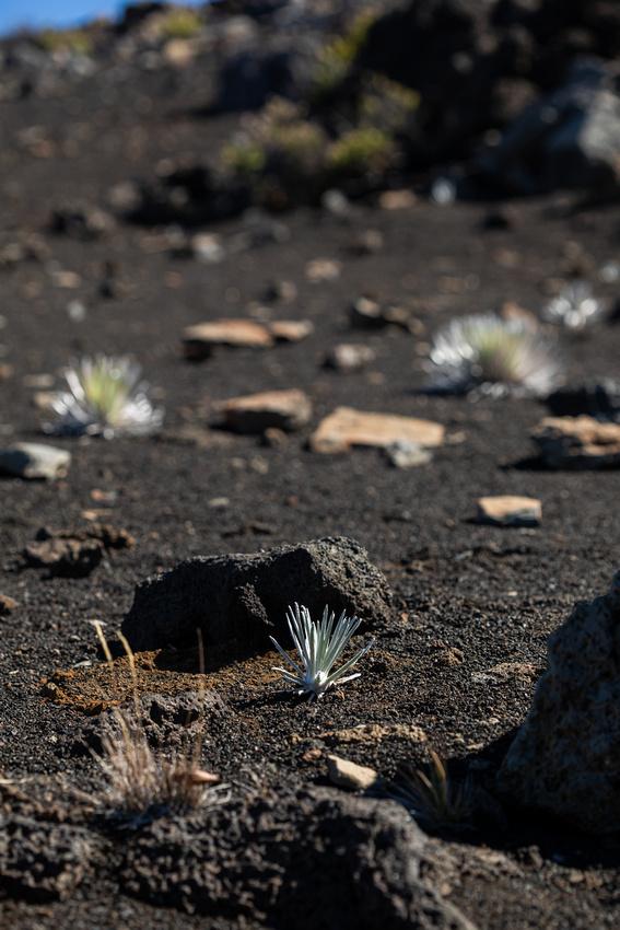 Silversword-Planting-Haleakala-Oct3020-059