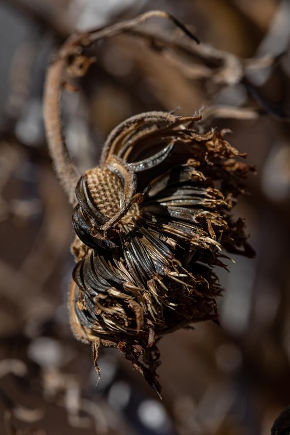 Silversword-Planting-Haleakala-Oct3020-067